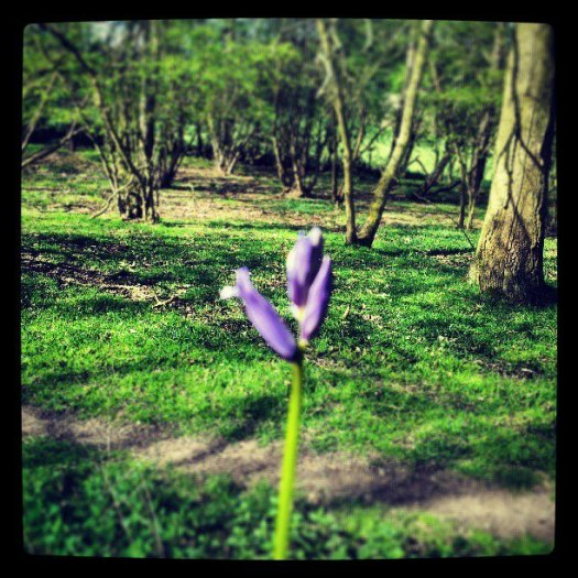 Bluebell In Epping Forest - Walks And Walking